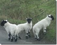 cowal lambs