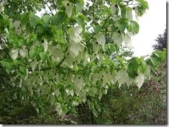 hankie tree