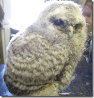 clyde valley baby owl