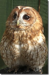 clyde valley tawny owl2