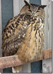 clyde valley eagle owl