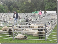 sheep pens2