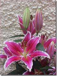 duart's lilies