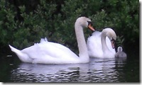 016 swans cygnet