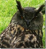 ingliston european eagle owl 180 degrees