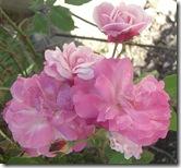 alnwick gardenpink roses