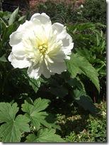 alnwick garden flower