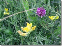 vetch and clover