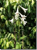 dunvegan lilies