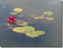 dunvegan water lily