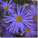 craigieburn michaelmas daisies