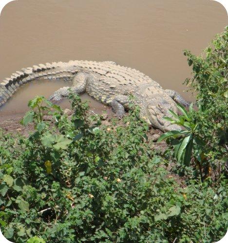 crocs in the mara river