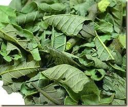 hojas de guayaba