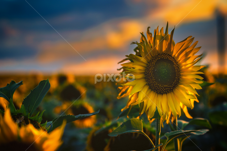 Sunflowers field by Dobrinovphotography Dobrinov - Flowers Flowers in the Wild ( illuminated, plant, the natural world, sunflower, dramatic sky, yellow, beauty, romantic sky, landscape, sun, crop, sky, nature, flower head, light, flower, common sunflower, horizon over land, non-urban scene, green, beautiful, twilight, scenics, agriculture, cloudscape, horizon, beauty in nature, sunlight, dusk, field, daisy family, daisy sunflower, dawn, sunset, cultivated land, moody sky, summer, cloud, rural scene, landscapes, land feature,  )