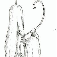 copihue 3.JPG
