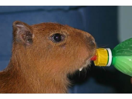 Capybara-pet3