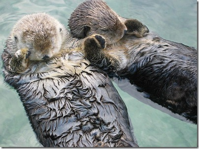 800px-Sea_otters_holding_hands
