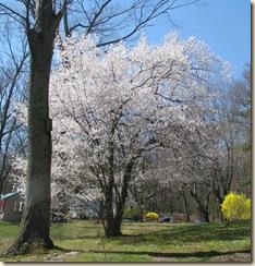 WK 2 Flowering tree