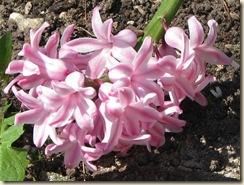 WK 2 Hyacinth