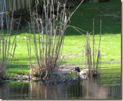 WK 2 Duck