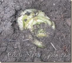 July 12 Celery