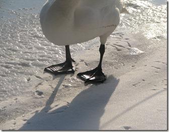Swan feet