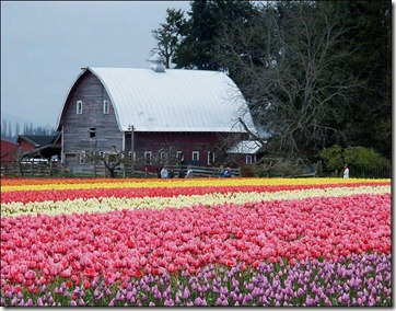 Tulips BARN