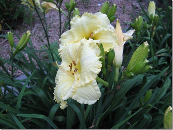 daylilies 003