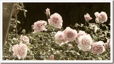 easter-roses