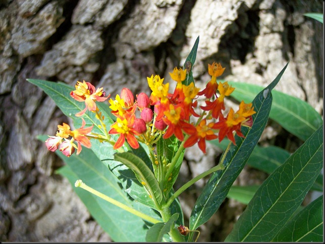 butterfly weed 2