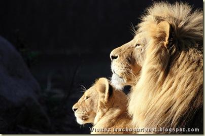 Monde animal_lion et lionne