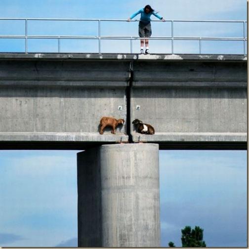 Chèvres sur un pont-1