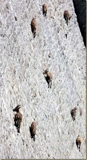 Chèvres sur un mur-2