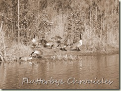 Geese in sepia 2
