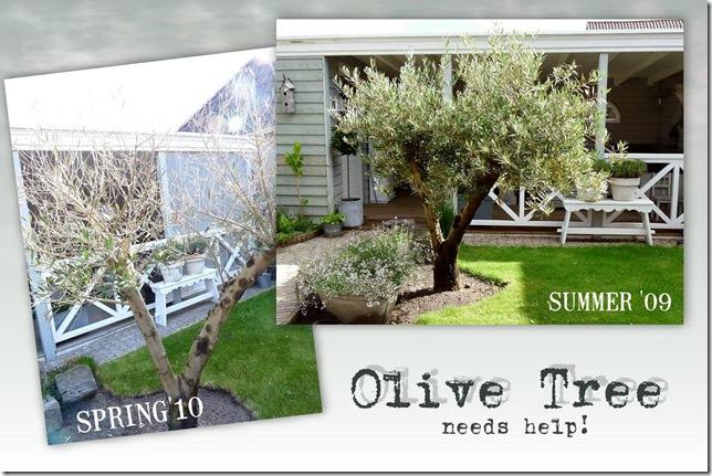 olijfboom.