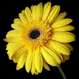 by Biljana Nikolic - Flowers Single Flower (  )