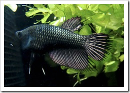 Betta-Fish-Picture-31