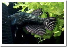 Betta-Fish-Picture-31