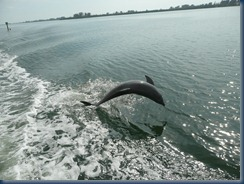Dolphin following our wake in western FL