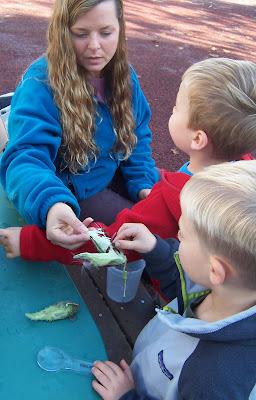 Examining a milkweed seed pod.