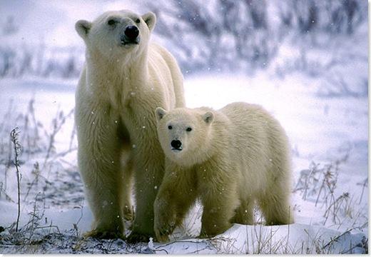 osa polar y retoñor