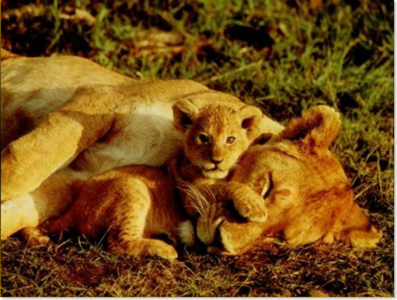 mami leona - retoño leon