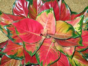 Aglonema1 Aglaonema Plant