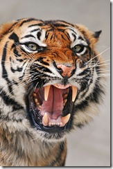tiger photo courtesy of http://www.flickr.com/photos/tambako/4221228933/
