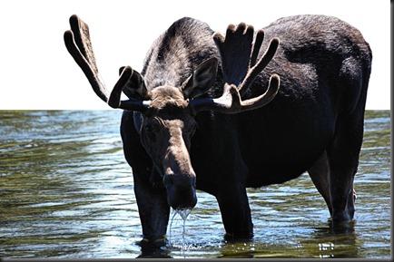 Moose Stare2