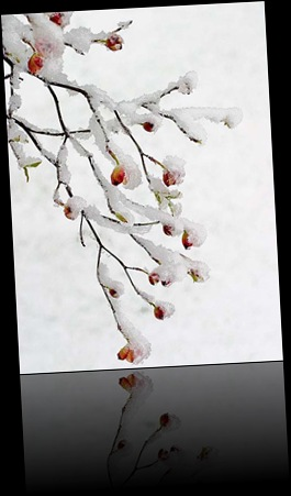 snowy_dogwood_blossoms