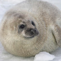 Baltic Grey Seal Pup