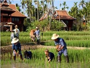 Mandarin Oriental Dhara Dhevi Hotel Chiang Mai - Kids Rice Planting