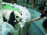 Chiang Mai Zoo Panda - Chiang Mai Attractions