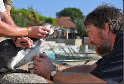 Vet visit 28 July 10 (re-sized) microchipping penguin chicks 2